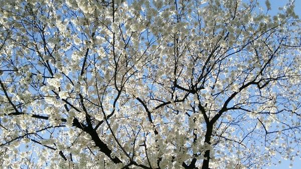 サクラ満開。素人の私でも携帯でこんなにキレイに撮れた桜。